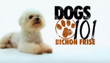 Animal Planet 101 Bichon Frise
